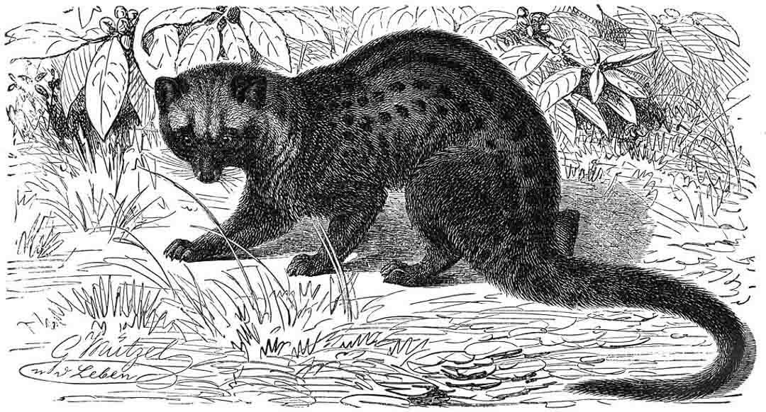 drawing of asian palm civet or luwak